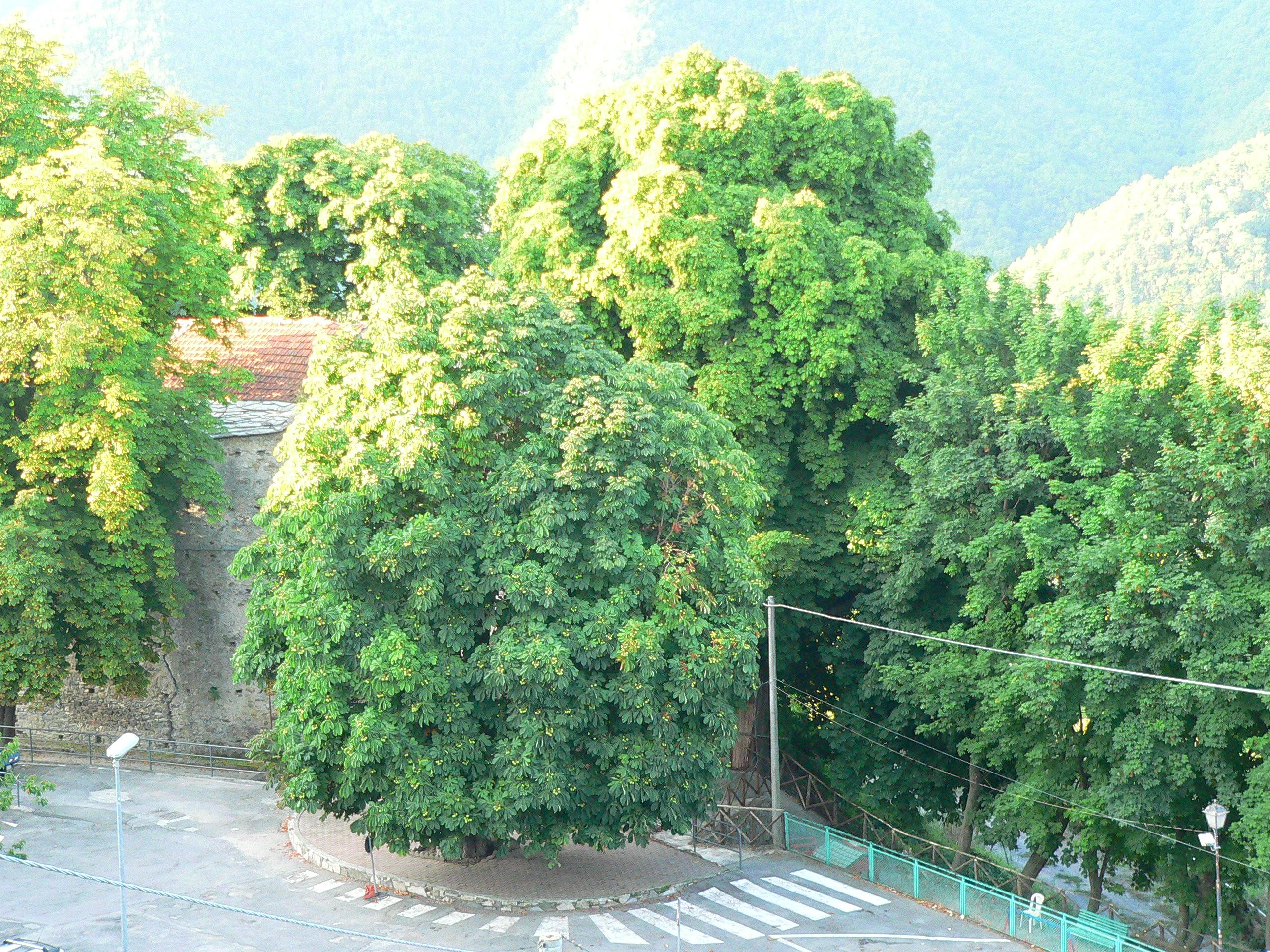 Andagna Ippocastani